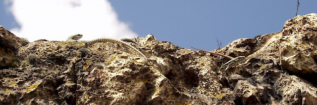 Wall lizards sm