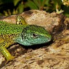 Green Lizard wp.